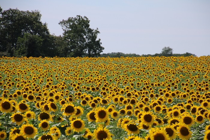 sunflowers long island